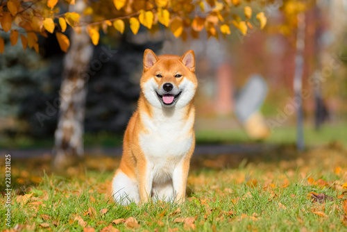Wall mural Dog breed Shiba inu in the autumn Park sits under a birch tree.