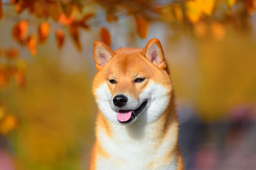 Wall Mural - Portrait of a dog breed Shiba inu in autumn Park.