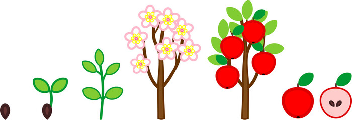 Life cycle of apple tree. Plant growth stage from seed to tree with fruits