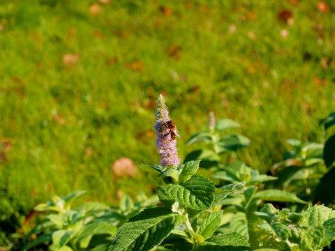 Bee on a green mint flower in the garden