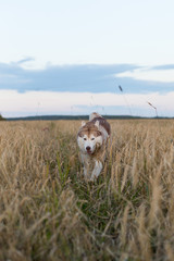 Image of happy dog breed Siberian husky running on the path in the rye field