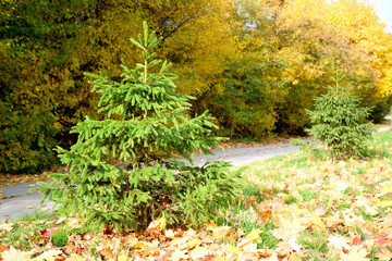 Young spruce grows near the path in the park.