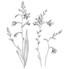 Crocosmia or montbretia. Hand drawn outline and silhouette vector illustration, isolated floral elements for design on white background. Medicinal plant wild field flower.Sketch.