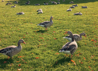 Beautiful geese walking and resting on the grass in Hyde Park, London