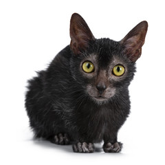 Head shot of sweet young adult Lykoi cat kitten laying down front view looking curious straight at camera with bright yellow eyes, isolated on white background