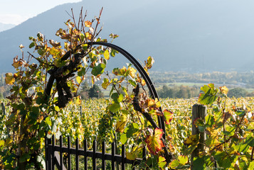 Wall Mural - metal garden gate and arch with grapevine and vineyard in golden fall colors in the Swiss Alps near Maienfeld
