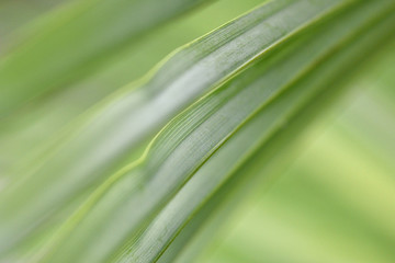 Green palm leaf as abstract background for text, extreme closeup, macro, shallow depth of field