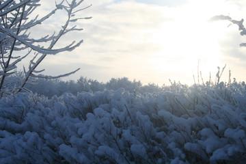 frozen bushes