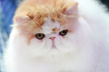 Close up Persian cat face, long brown orange hair.
