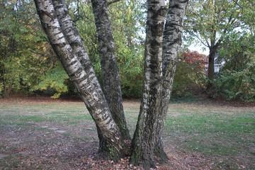 Baum mit vier Stämmen