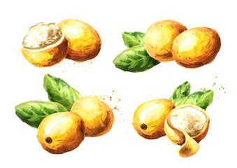 Marula fruit set. Watercolor hand drawn illustration  isolated on white background