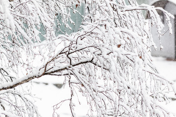 Branches of a birch under a thick layer of snow, close-up