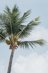 View of the coconut palm tree against blue sky.