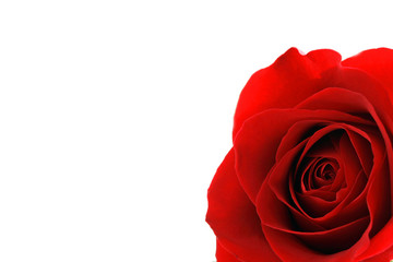 Close up of Red Rose flower over white