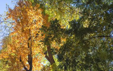 Beautiful multi-colored foliage of trees.  Autumn, October.