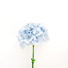 Zelfklevend Fotobehang Hydrangea Blue hydrangea flower isolated on white background. Flat lay, top view floral concept.