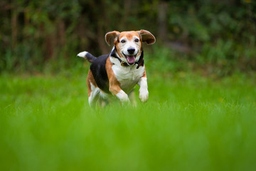 A happy beagle dog running in a field.