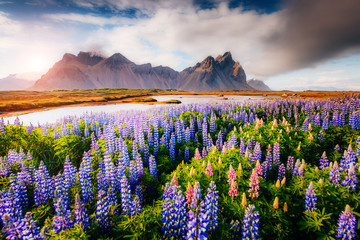 Wall Mural - Magical lupine flowers glowing by sunlight.