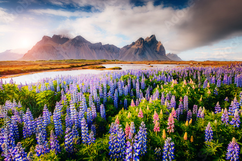 Wall mural Magical lupine flowers glowing by sunlight.