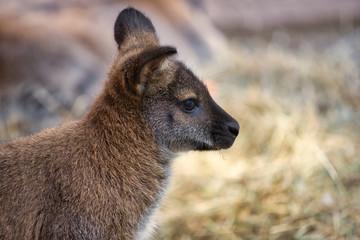 Portrait of young kangaroo joey marsupial
