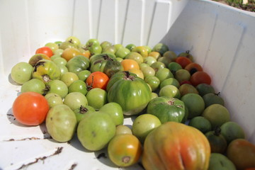 green and red tomatos vegetables in kitchen