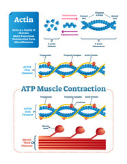Actin vector illustration. Labeled diagram with protein structure.