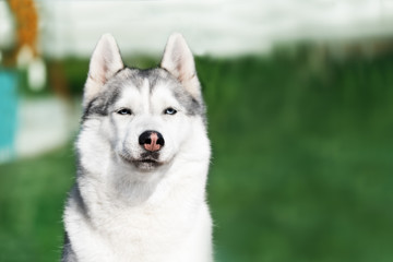 A selfish mature Siberian husky female dog is sitting near a green zone. The background is green. A bitch has grey and white fur and blue eyes. She looks very annoying.