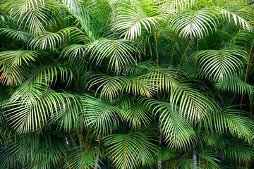 Thick lush wall of green tropical palm frond leaves with exotic shapes and textures in Colombia, South America.