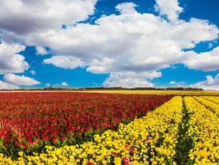 Farmer field of buttercups