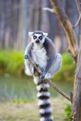 Lemur climbing tree