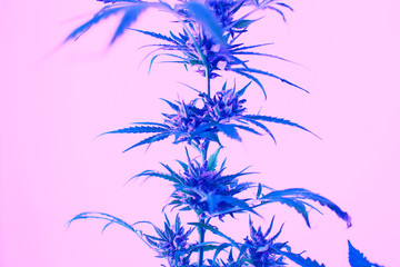 Leafs of cannabis, background image. Thematic photos of hemp and marijuana Trendy colors pink blue...