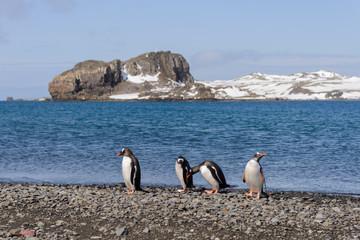 Group of gentoo penguins on beach