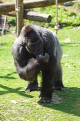 Gorille à dos argenté en train de manger