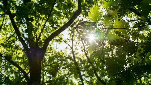 Green oak leaves against bright sun – Close Up Sun shining through