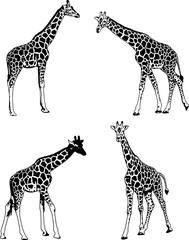 giraffes sketch illustration set - vector