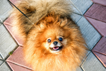 Cute small Pomeranian spitz doggy in summer, smiling.