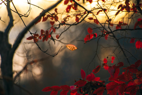 Dark red leaves of a black gum tree in a forest backlit by the setting winter sun. Room for text.