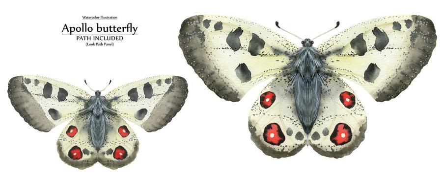 Watercolor illustration Apollo butterflies