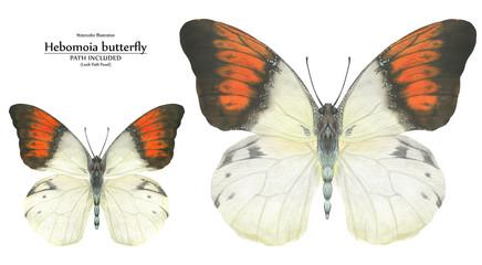 Watercolor illustration Hebomoia butterflies