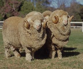 Wall Mural - Stud Merino ram at at a farm in Australia.sheep