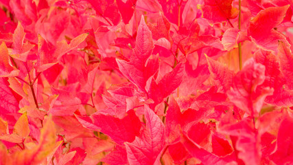 background wallpaper-close up of vivid red autumn maple leaves