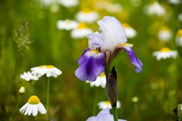Wild Iris