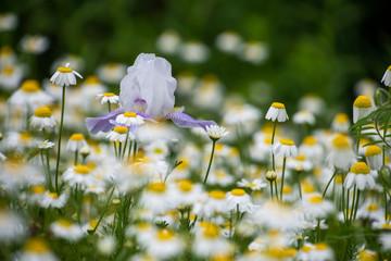 Iris in field of daisies