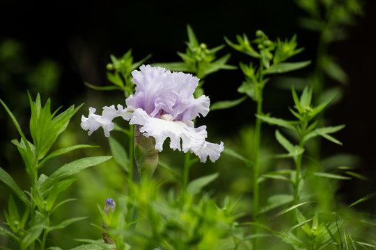 Light Pink Iris
