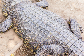 Big crocodile body closeup
