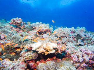 沖縄のサンゴ