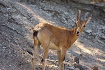 Nubian Ibex in Wildlife Preserve