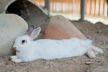 white rabbit, bunny pet