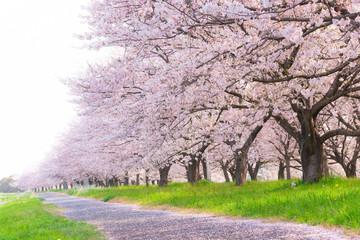 Spoed Fotobehang Kersenbloesem 満開の桜並木