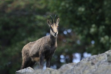 Chamois, Rupicapra rupicapra, in the stone hill. Studenec hill, Czech Republic, Animal from Alp. Wildlife scene with animal, Chamois, stone animal.